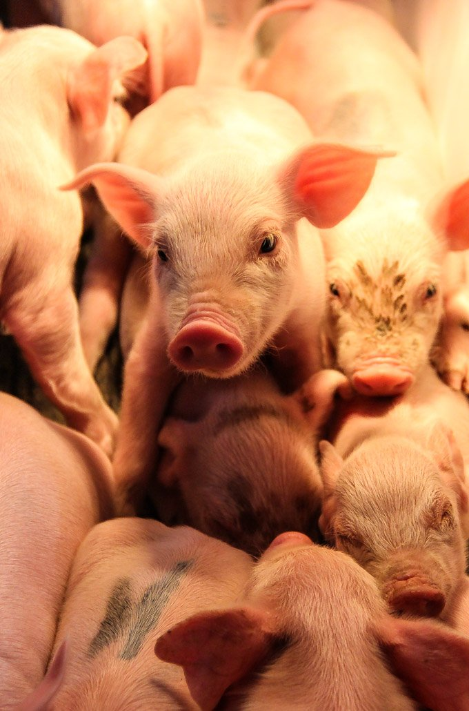 Pigs and Pig Farming: From the Farm to Your Plate | Wakefield Pork